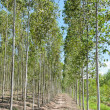 Eucalyptus plantation — Stock Photo
