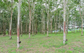 Rubber tree plantation — Stock Photo