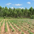 Stock Photo: Cassavand Eucalyptus plantation