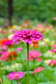Pink Zinnia blossom — Stock Photo