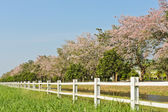 Pink trumpet trees — Stock Photo