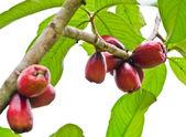 Rose apple tree — Stock Photo