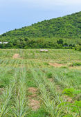 Pineapple plantation — Stock Photo