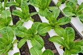 Romaine lettuce plantation — Stock Photo