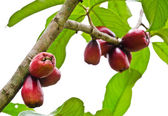 Rose apple tree — Stock Photo