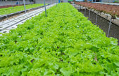 Hydroponic vegetables farm — Stock Photo
