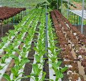 Plantación de lechuga de hoja — Foto de Stock