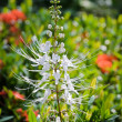 Cat's Whiskers flower — Stock Photo #33759515