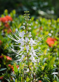 Cat's Whiskers flower — Stock Photo