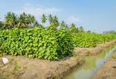 Plantacji ogórka — Zdjęcie stockowe