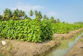 Gurka plantage — Stockfoto