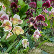 Lady slipper orchid — Stock Photo #37442757