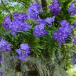 Stock Photo: Blue vanda