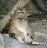 Pig-tailed macaques — Stockfoto