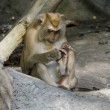 Stock Photo: Pig-tailed macaques