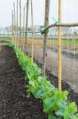 Melone-plantage — Stockfoto