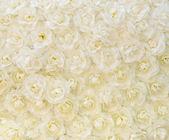 White rose background — Stock Photo