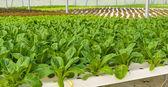 Romaine lettuce plantation — Foto de Stock