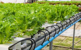 Filey Iceberg lettuce plantation — Stock Photo