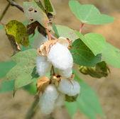 Gossypium rostlina — Stock fotografie