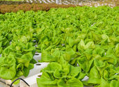 Butterhead lettuce plantation — Stock Photo