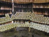Oyster mushroom cultivation — Stock Photo