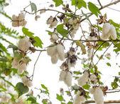 Gossypium plant — Stock Photo