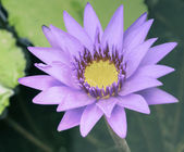 Purple lotus flower — Stock Photo