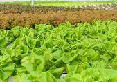 Butterhead lettuce plantation — Stock Photo
