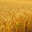 Weizenfeld - wheat field 01 — Stock Photo