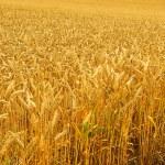 Weizenfeld - wheat field 01 — Stock Photo