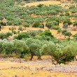 Stock Photo: Olive grove 23