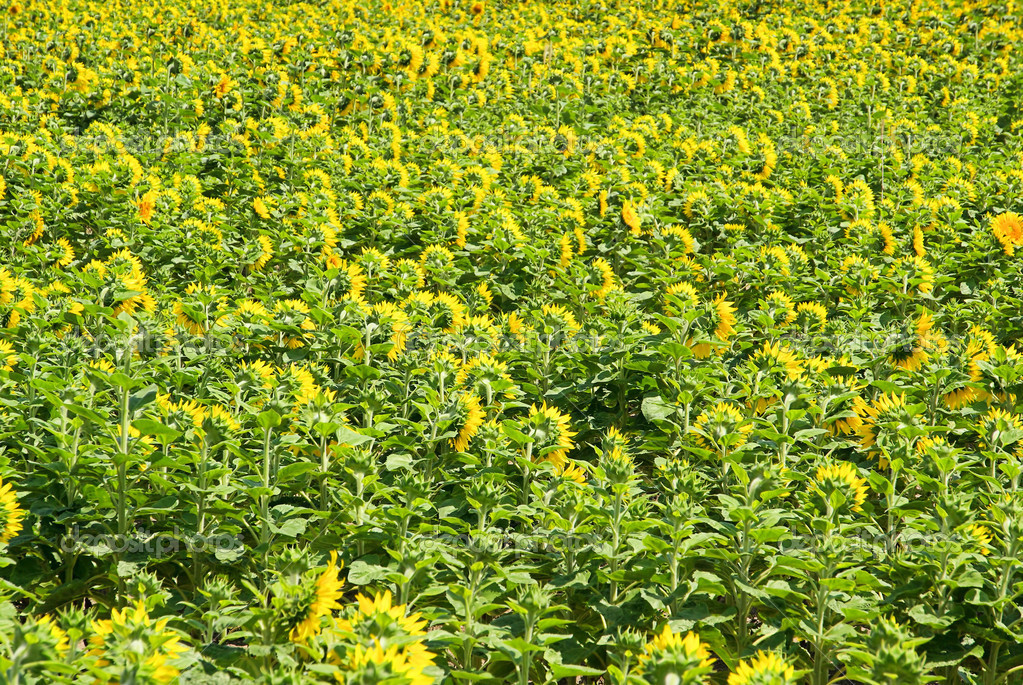 Sunflowers field 07 — Stock Photo #12464798