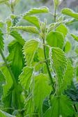 Stinging nettle hoarfrost 02 — Stock Photo