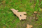 Eichenblatt - Oak leaf 02 — Stock Photo