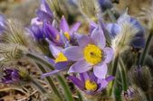Pasque flower 17 — Stock Photo