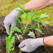 Ginkgo planting 03 — Stock Photo #12861370
