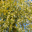 Stock Photo: Mistletoe 23