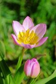 Tulip pink yellow 04 — Stock Photo