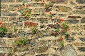 Klatschmohn vor Mauer - corn poppy before the wall 06 — Stock Photo