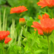Calendula 29 — Stock Photo