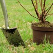 Stock Photo: Planting shrub 02