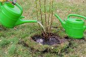 Strauch angiessen - watering a shrub 03 — Stock Photo