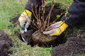 Strauch einpflanzen - planting a shrub 13 — Stock Photo