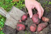 Kartoffeln ernten - potato harvest 03 — Stock Photo