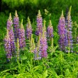 Lupine - lupin 12 — Stock Photo #13140041