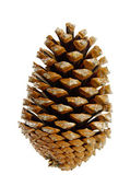 Pinienzapfen - pine cone 04 — Stock Photo
