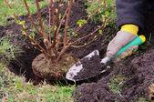 Strauch einpflanzen - piantare un arbusto 14 — Foto Stock