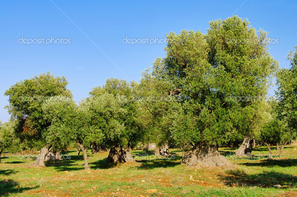 Olivenhain - olive grove 30 — Stock Photo #13141299