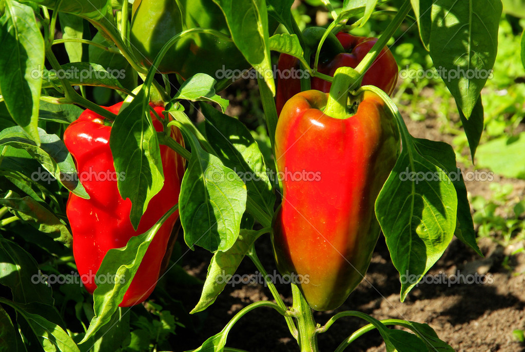 paprika pflanze paprika plant 02 stockfoto. Black Bedroom Furniture Sets. Home Design Ideas